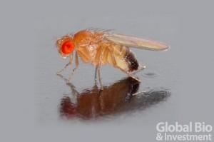 果蠅大腦中的一個神經元環路會根據果蠅試圖飛行的方向放電,幫助果蠅知其身處何處。(圖/André Karwath aka Aka (Own work) [CC BY-SA 2.5 (http://creativecommons.org/licenses/by-sa/2.5)], via Wikimedia Commons)