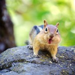 Chipmunk-chattering