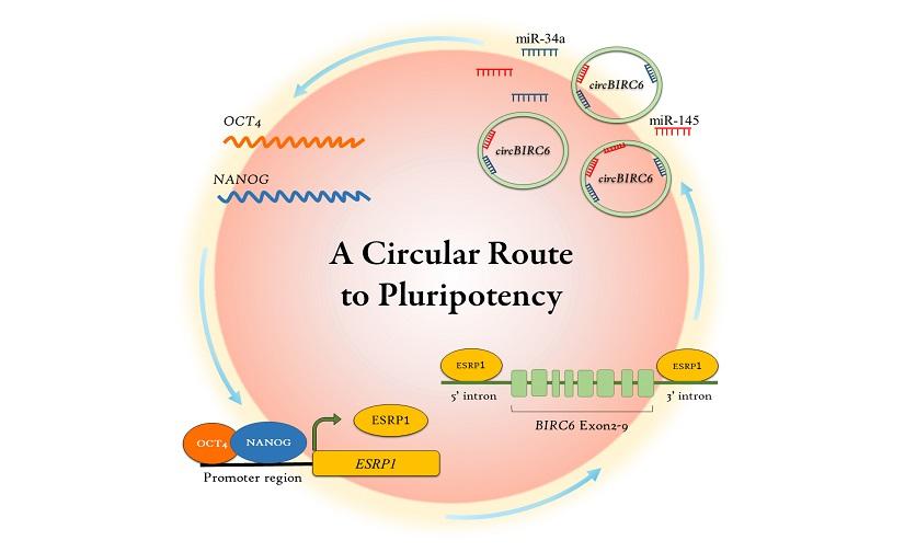 圖說:NANOG、OCT4首先與RNA剪接因子(ESRP1)共同調控特定環形RNA(circBIRC6)的表現量(圖片下方),而circBIRC6則會透過調節微小RNAs(miR-34a及miR-145)來促進NANOG及OCT4基因表現,進而維持胚胎幹細胞的多能性(圖片上方)。