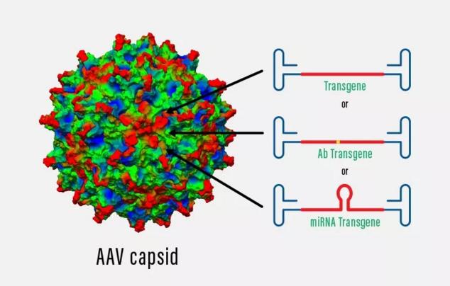 Voyager的AAV載體平台有望在大腦內直接產生針對tau蛋白的抗體(圖片來源: Voyager官方網站)