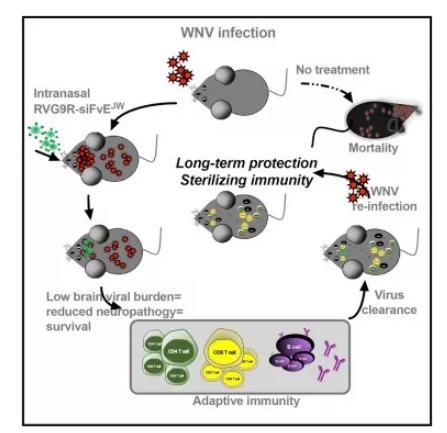 透過siRNA治療WNV病毒感染(圖片來源:《Cell Host&Microbe》)