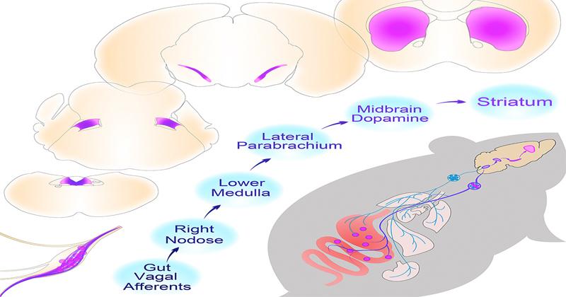 《Cell》腸道迷走神經可刺激大腦 改善進食障礙!?(圖片來源: ARTICLE|ONLINE NOW A Neural Circuit for Gut-Induced Reward)