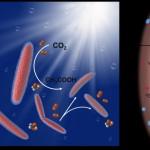 用「黃金」來進行光合作用的細菌 (圖片來源: UC Berkeley's Molecular Imaging Center)