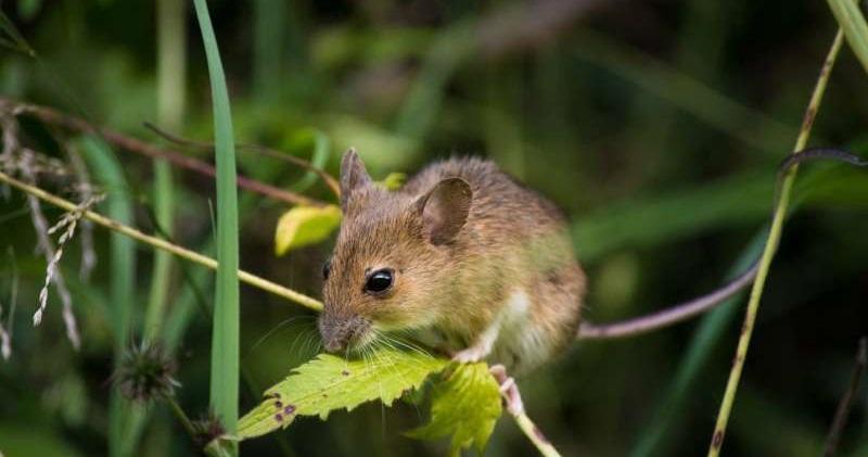 小鼠揭密261個與失明相關的新基因(圖片來源:CC0 Public Domain)