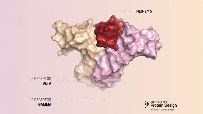 新的免疫治療藥物旨在對抗癌症,同時避免常見的副作用。此圖描繪了紅色的新蛋白質如何僅與β和γ受體結合,而不與具有第三種受體的細胞結合。(圖片來源:西雅圖蛋白質研究所)