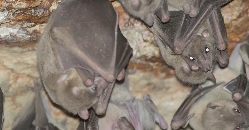 中國雲南蝙蝠發現類伊波拉病毒(圖片來源:網路)