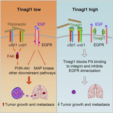 透過Tinagl1阻斷整合素(Integrin)/FAK和EGFR這兩種途徑,使癌症逃避治療的補償機制被抑制。(圖片來源:Cancer Cell)