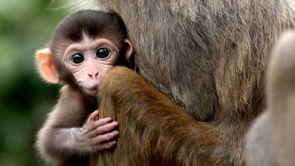 首次在猴子中發現遺傳性眼盲罕病 有望開發新療法(圖片來源:網路)