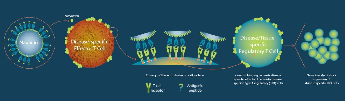 Navacim的免疫運作機制示意圖。(圖片來源: Parvus Therapeutics)