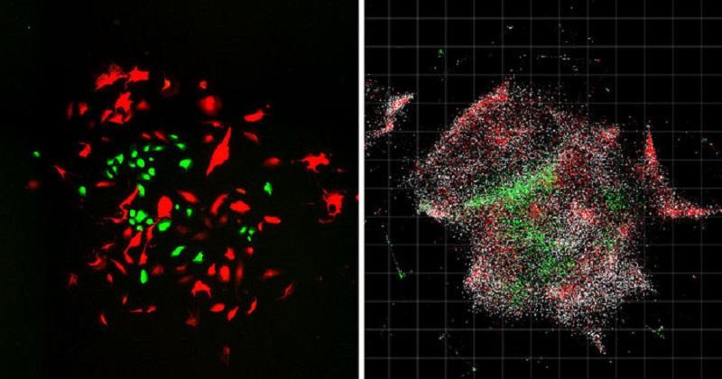 左圖為一般光學成像,右圖為DNA顯微鏡之細胞群成像(圖片來源:Cell)