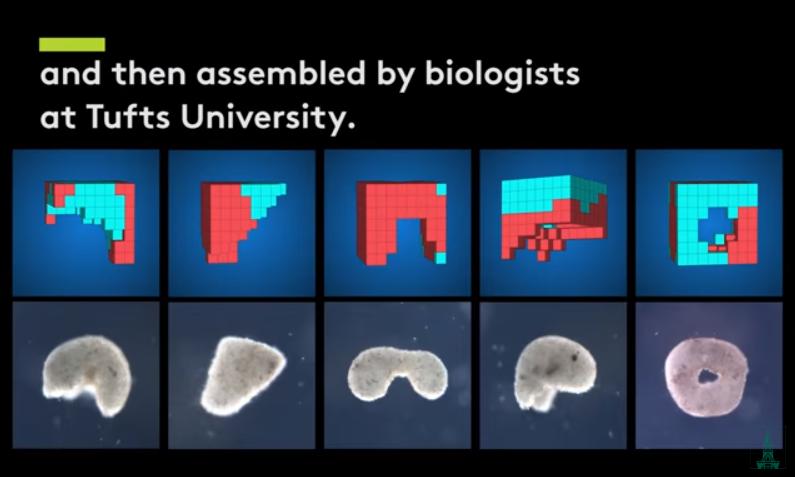 超級電腦設計、爪蛙幹細胞組裝  美科學家創造首個活體機器人。(圖片來源:UVM)