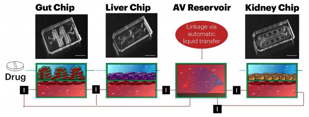 每塊器官晶片約一個USB大小,由透明聚合物組成,聚合物包含可滲透通道,模仿人體不同器官之間正常的血液流動。(圖片來源:網路)