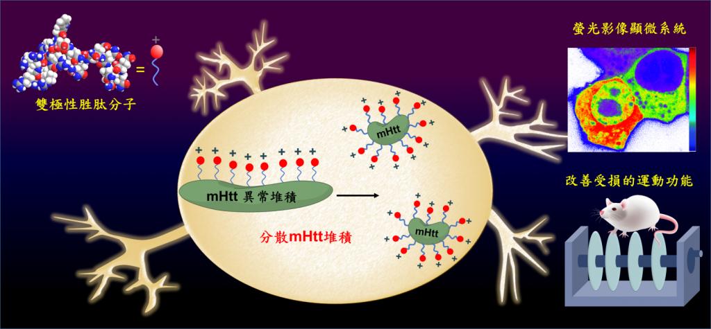 雙極性胜肽分子,一端可以辨識變異的亨丁頓蛋白,另一端帶正電,能利用電荷排斥力,阻止變異的亨丁頓蛋白(mHtt)堆積,改善變異蛋白所造成的運動與認知功能失調。(圖片來源:中央研究院提供)