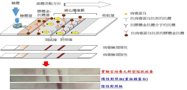 新型冠狀病毒快篩試劑雛型:當滴入檢體後,測試線與對照線皆會顯現,也就是呈現二條線時判定為陽性;如果只有呈現一條線(對照線)時,則判定為陰性。(圖為國衛院提供)
