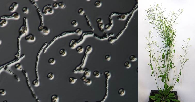 左圖:顯微鏡下,阿拉伯芥花粉長出花粉管;右圖為阿拉伯芥成功授粉後長出果實。(圖片來源:中研院)
