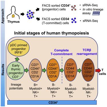 人類T細胞發育圖譜(圖片來源:Immunity)