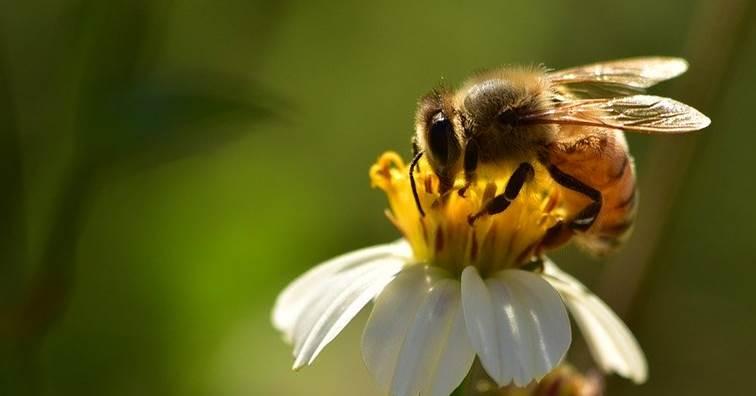 《Nature》子刊:澳洲研究 蜜蜂毒液胜肽可殺死三陰性乳癌細胞 (圖片來源:網路)