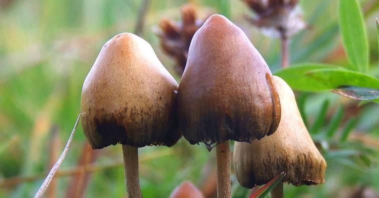 Compass提交納斯達克IPO 開發迷幻蘑菇抗憂鬱療法 (圖片來源: Wikipedia)